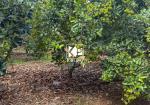 Đất vườn trái cây đang thu hoạch tại Bình Lộc, TP Long Khánh (0834398679)